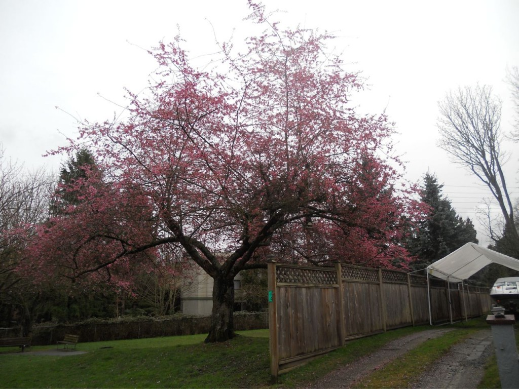 cherrytreebloom