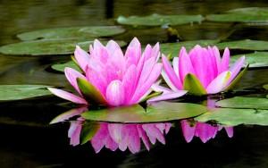 pink-lotus-109000-300x188
